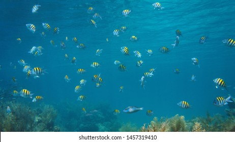 Sergeant major fish shoal underwater in the Caribbean sea, Bocas del Toro, Central America, Panama