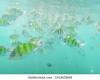 Sergeant-major fish school underwater looking at you, snorkeling on Phuket in Thailand