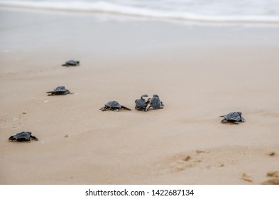 Aracajú, Sergipe, Brazil. June 2017. Small turtles going on the beach find the sea.
