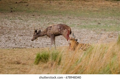 A series of images showing a sambar kill by a tiger