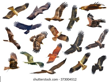 The series includes  falcons, eagles prey on a white background.