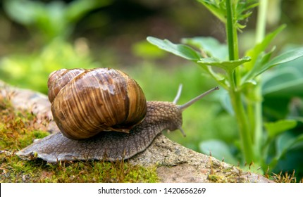 "A series of photos ""One day in the life of snails"".Grape snail on a stone, on a blurred background."