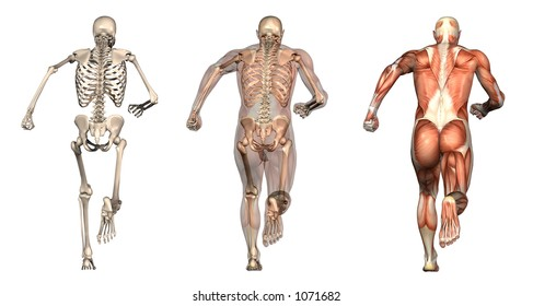 Series of three anatomical 3D renders depicting a man running, viewed from behind. These images will line up exactly, and can be used as overlays to study anatomy.