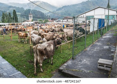 SERINA,ITALY - SEPTEMBER 21,2016: cattle exhibition and contest at Brembana Valley, Serina,Bergamo,Lombardia Italy. Brown breed cows, red spotted cows, frisona holstein