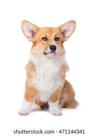 Seriose Welsh corgi pembroke in studio in front isolated on white background