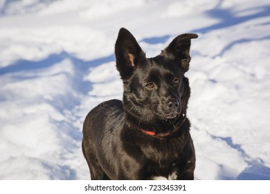 A serious black dog sits in the snow