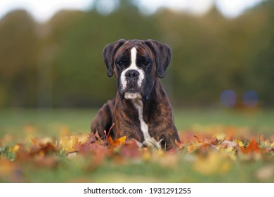 Serious brindle Boxer dog posing outdoors lying down on fallen maple leaves in autumn