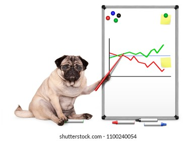 serious business pug puppy dog sitting down, pointing at white board with chart, yellow notes and magnets, isolated on white background