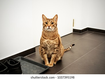 Serious cat ocicat on guard. Concept: guarding house
