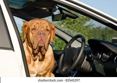 Serious driver dog sitting inside the car