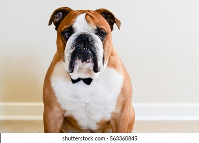 Serious English bulldog in bow tie on white background isolated