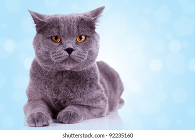 serious english cat looking at the camera on blue background