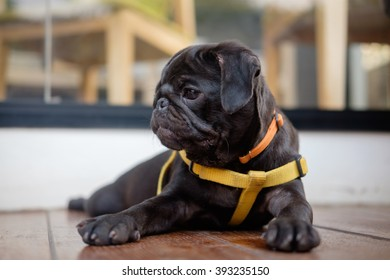 Serious face of Black puppy pug dog lying to guard her area on wooden floor.