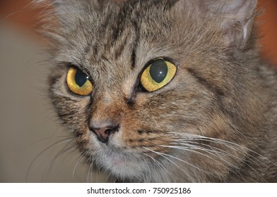 Serious face of cat