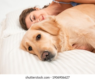 Serious Golden retriever dog sleeping on the bed. Dog covered in white blanket. Spanding time at home. cozyness and funny dog. Top view photo concept. Closeup