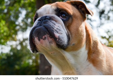 Serious handsome English bulldog looks on something