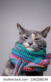 Serious little cat prepared for winter and wrapped in a woolen knitted scarf, on a gray background. Close-up.
