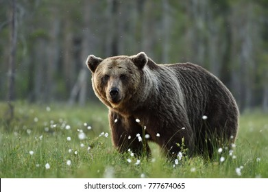 Serious looking adult male brown bear
