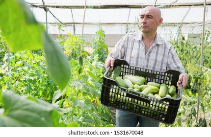 Serious man gardener holding crate with cucumbers in  sunny hothouse
