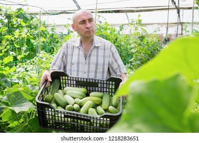 Serious man  horticulturist holding crate with cucumbers in  sunny hothouse