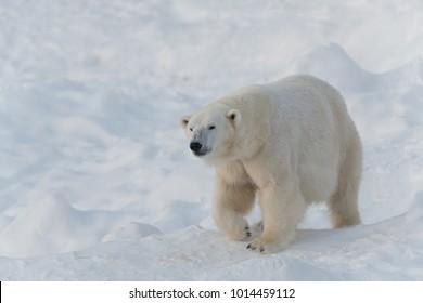 Serious polar bear walking on snow