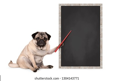 serious pug puppy dog sitting next to blank blackboard, holding red pointer, isolated on white background