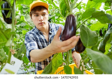 Serious young worker of greenhouse holding box and choosing ripe eggplants while harvesting crop in hothouse