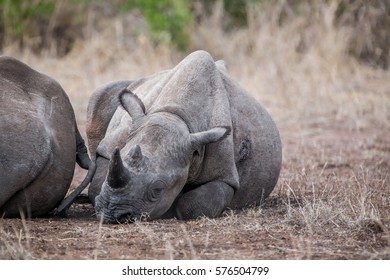 Seriously injured white rhinoceros with her calf in the Kruger National Park, South Africa