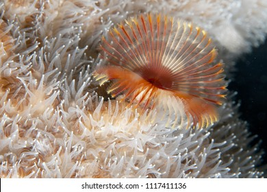 Serpula vermicularis, known by common names including the calcareous tubeworm, fan worm, plume worm or red tube worm,