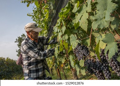 Serralunga D'Alba, Cuneo (Italy) - 10/12/2019:  A harvester picks Nebbiolo grapes, which are used to make Barolo wine, during the first  day of  harvest in the Langhe.
