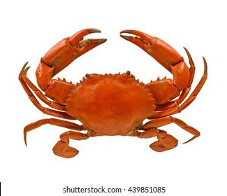 Serrated mud crab ( Serrated mud crab, Mangrove crab, Black crab, Giant mud crab; Scylla serrata) isolated on white background