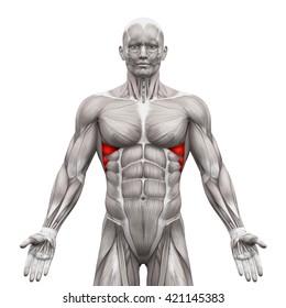 Serratus Anterior - Anatomy Muscles isolated on white - 3D illustration