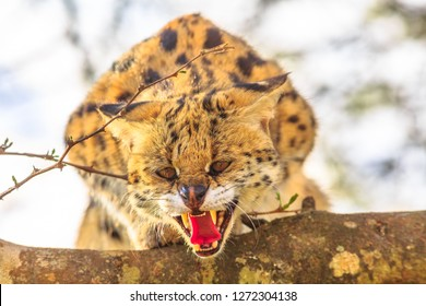 Serval angry on a tree in nature habitat. The scientific name is Leptailurus serval. The Serval is a spotted wild cat native to Africa. Blurred background.