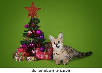 serval cat next to a Christmas tree and gifts on a green background isolated