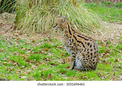 A Serval cat prowls its enclosure