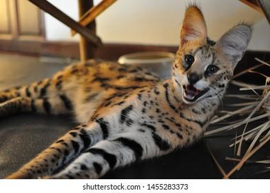 Serval (Leptailurus serval) cat in captivity