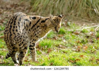 A serval preens itself