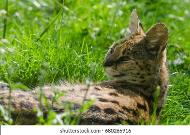 A Serval relaxes in the sun