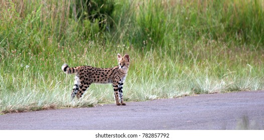 Serval, Rietvlei Nature Reserve, South Africa.