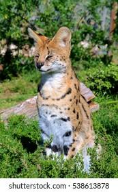Serval Sitting