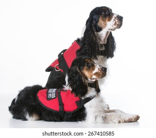 service dogs - two english cocker spaniels wearing vests on white background