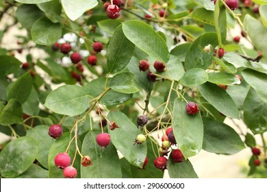Serviceberry / Juneberry shrub close up with edible ripe and unripe healthy juicy fruits hanging down in bunches on a green leaves background in a home garden