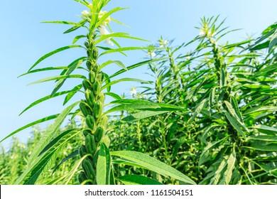 Sesame crops growing in green farmland