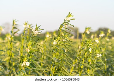 Sesame seed flower on tree in the field, Sesame a tall annual herbaceous plant of tropical and subtropical areas cultivated for its oil-rich seeds
