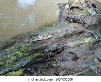 Sesarmid crabs (Sesarmidae) and Barred mudskipper (Periophthalmus argentilineatus) or Silverlined mudskipper resting on the fallen tree trunk in the water. The Mangrove Ecosystem,  Southern Thailand.