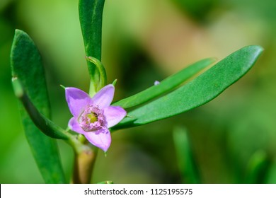 Sesuvium portulacastrum (shoreline purslane, sea purslane) ; sprawling grows in coastal areas. Green leaves thick, smooth, fleshy and glossy that are linear or lanceolate. Flowers are pink or purple.