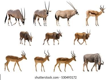 Set of 11 Antelopes isolated on white background. Seen at namibia, africa.