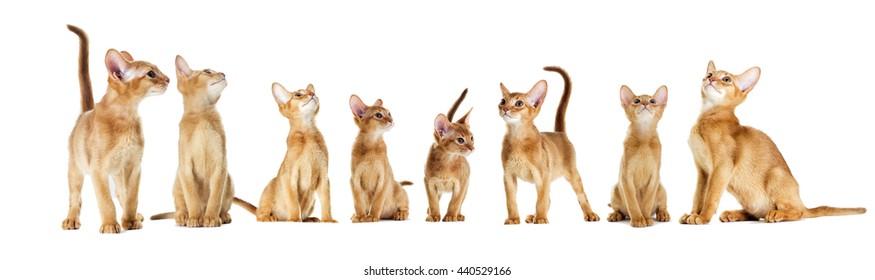 set Abyssinian kitten looking