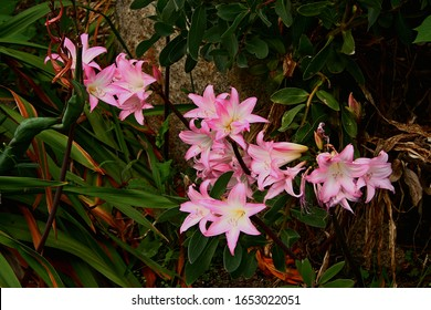 Set against darker vegetation by an old wall in an English garden a group of lilies show off their beautiful and bright pink colour.