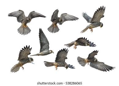 Set of Amur Falcon flying  isolated on white background